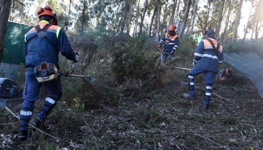 Castanheiros e carvalhos vão substituir eucaliptos no Picoto